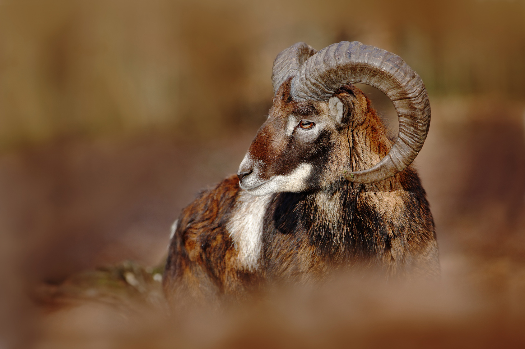Mouflon, Ovis orientalis, forest horned animal in the nature hab