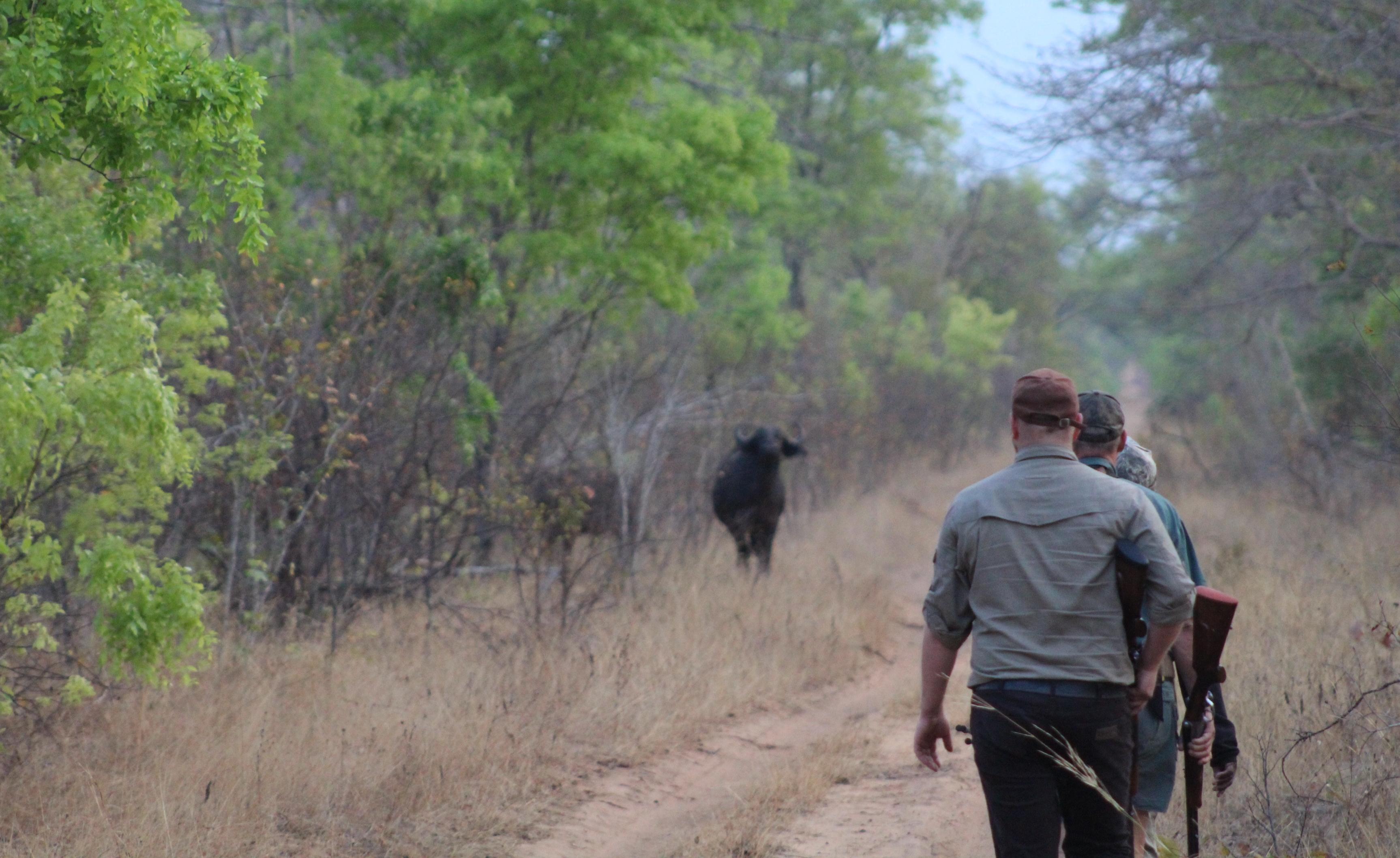 Zimbabwe Bawoły (4)