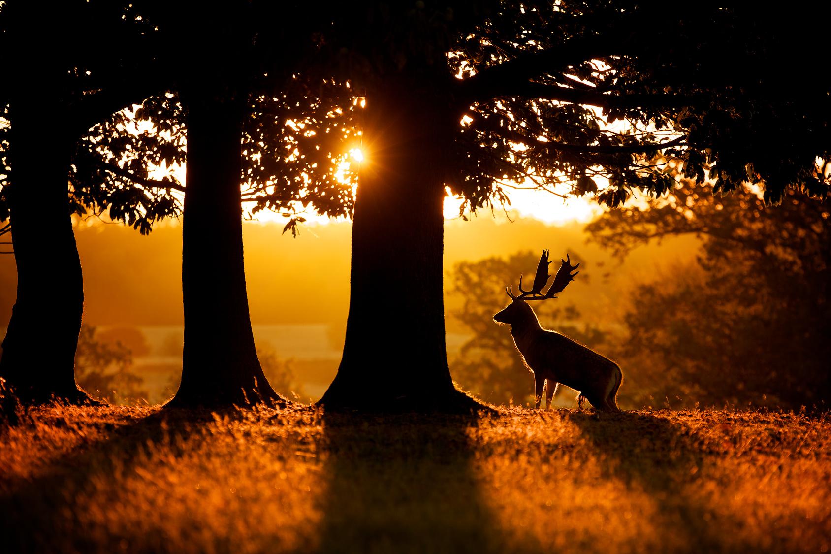 Sunrise, silhouette of a fallow deer buck