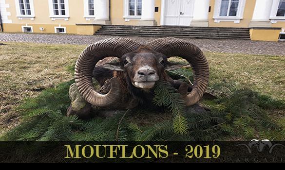 gallery-mouflons-2019-thubnail